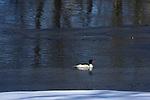 Common Merganser (Mergus merganser) on the Namasket River in Winter