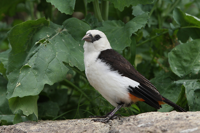 The White-headed Buffalo-weaver (Dinemellia dinemelli) is a weaver common throughout East Africa.