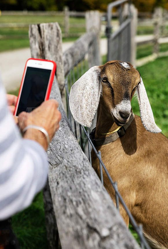 Tourist taking a mobile photo of a goat.