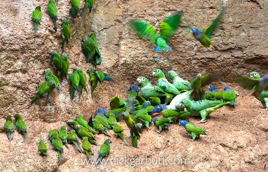 Mealy Amazon (Amazona farinosa) and Dusky-headed Parakeet (Aratinga weddellii) at parrot-lick along the Napo River, Ecuador.