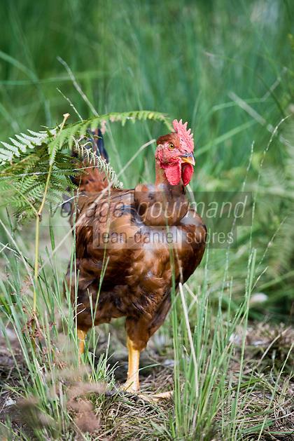 Europe/France/Aquitaine/40/Landes/ Laluque: Chez Mr Thierry Berbille éleveur de poulets  fermiers des Landes  élévés en liberté- Label rouge -SCEA Le Plat