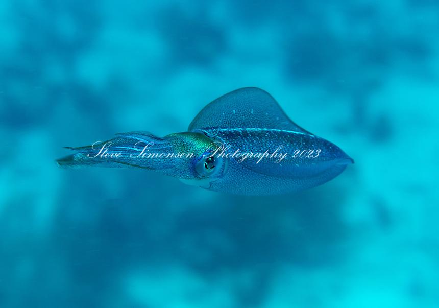 Caribbean reef squid (Sepioteuthis sepioidea)<br /> US Virgin Islands