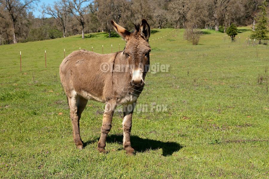 Jackass in a green field in the SIerra Foothills