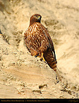 Red-tailed Hawk, Rufous Morph Juvenile, Newport Back Bay, Southern California