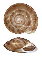Lapidary Snail - Helicigona lapicida