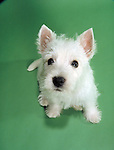West Highland White Terrier, aka Westie