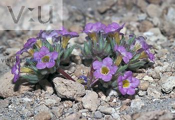 Fremont's Phacelia ,Phacelia fremontii,, a tiny desert flowering plant, Mojave Desert, California, USA.