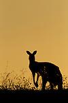 Eastern Grey Kangaroo (Macropus giganteus) male at sunset, Mount Taylor Nature Reserve, Canberra, Australian Capital Territory, Australia