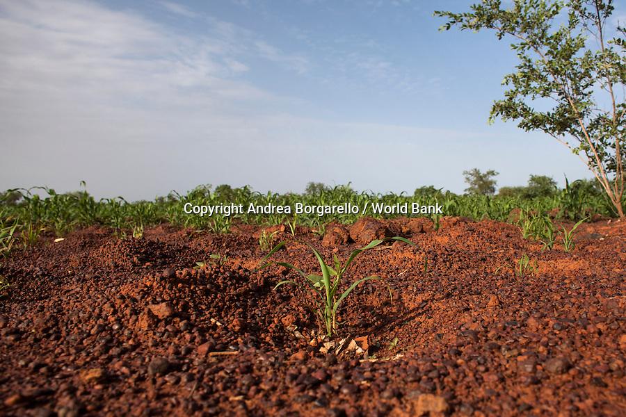 Burkina Faso, North. Young tree in an arid land.