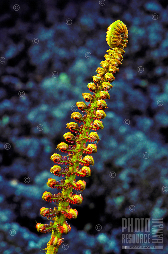 The amau sadleria fern found on saddle road of the big island.