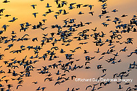 00754-02814 Snow Geese (Anser caerulescens) in flight at sunset Marion Co. IL
