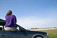 Woman sitting in car window watching Snow Geese fly overhead and in field, Fir Island, Skagit Valley, Skagit County, Washington, USA