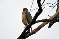 Brown goshawk (Accipiter fasciatus) is a medium-sized bird of prey in the family Accipitridae found in Australia and surrounding islands. This specimen was photographed in my backyard here in Cairns. Far - North Queensland.