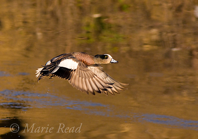 American Wigeon (Anas americana), male taking flight from water, Bolsa Chica Ecological Reserve, California, USA