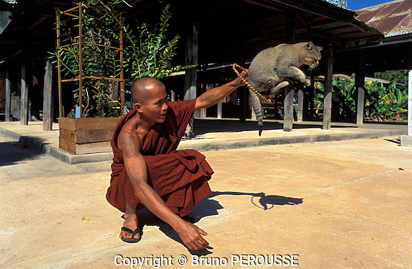 Asie, Birmanie (Myanmar), état Shan, région du lac Inle, monastère Nga Hpe Chaung, chat dressé à sauter à travers un cerceau//Asia, Burma, (Myanmar), Shan state, Inle lake area, Nga Hpe Chaung monastery where the monks have trained cats to jump through hoops