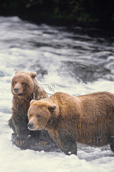 Alaskan brown bear or coastal grizzly sow & cub fishing for salmon, Katmai National Park, AK.  Fall.