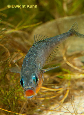 1S13-523z   Male Threespine Stickleback yawning and stretching behavior, Note red inside mouth for courting advantages,  Mating colors showing bright red belly and blue eyes,  Gasterosteus aculeatus,  Hotel Lake British Columbia