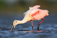 Roseate Spoonbill (Ajaia ajaja), adult feeding, Dinero, Lake Corpus Christi, South Texas, USA