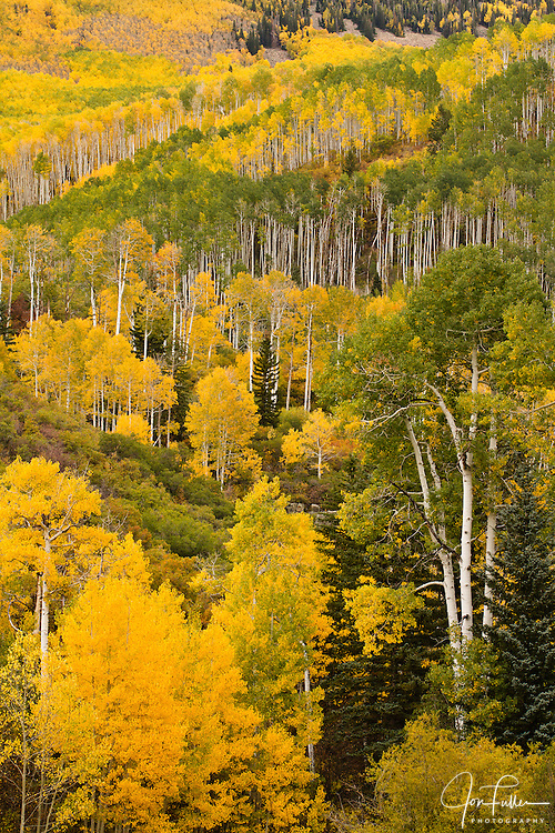 Aspen leaves in autumn on the La Sal Mountains near Moab, Utah, USA.