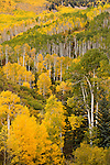 Aspen leaves in autumn on the La Sal Mountains near Moab, Utah, USA.
