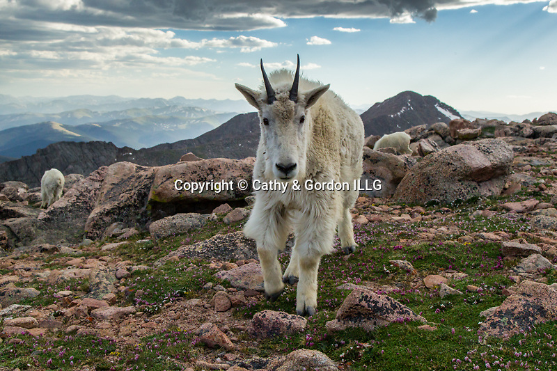 Mountain goat approaching photographer above timberline, Mt. Evans, Colorado, USA.