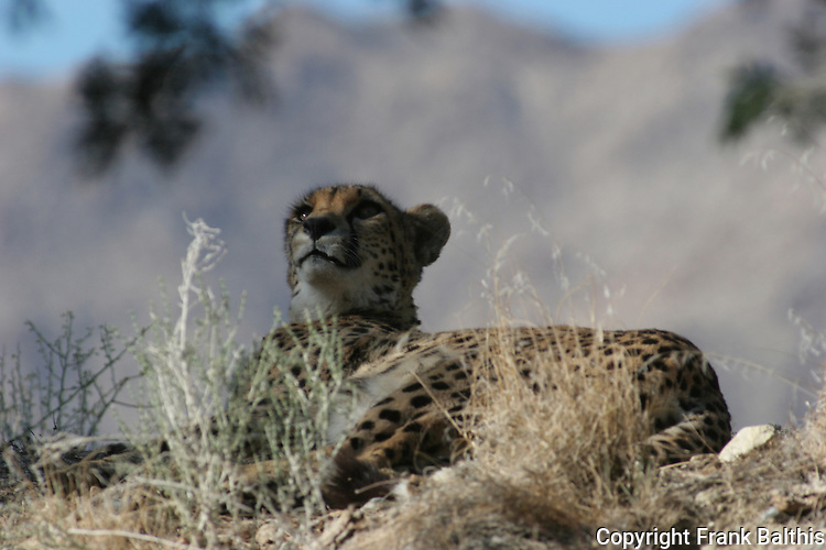 Cheetah resting at the Living Desert Reserve