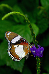 A gorgeous, beautifully marked, multi-colored Danaid Mimic Eggfly sipping from a purple flower stands out against soft green leaves.