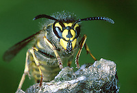 Common Wasp - Vespula vulgaris