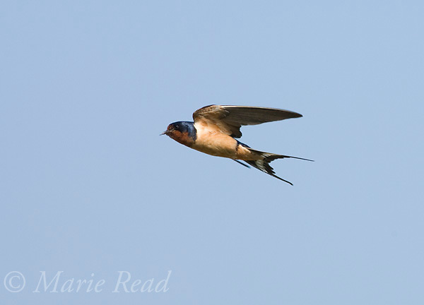 Barn Swallow (Hirundo rustica), in flight, Montezuma National Wildlife Refuge, New York, USA