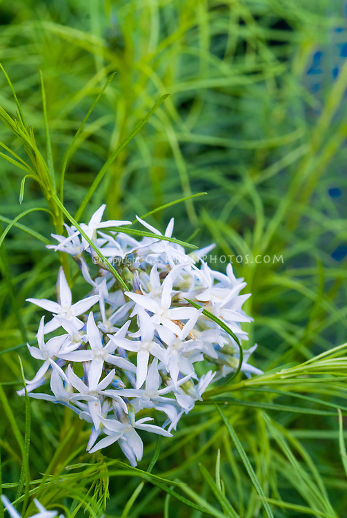 Amsonia hubrichtii in blue flowers in spring bloom