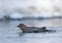 Dippers are a common sight in Yellowstone's rivers in winter.  They are often diving underwater in search of food.