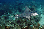 Aetobatus narinari, Spotted eagle ray, Florida Keys