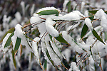 Winter scenes of snow covered Bamboo leaves.  Jim Bryant Photo. ©2014. All Rights Reserved.
