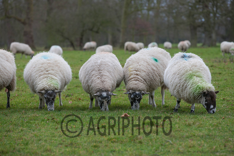 Mule ewes grazing winter grass<br /> Picture Tim Scrivener 07850 303986