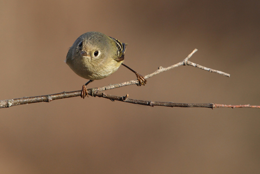 Ruby-crowned Kinglets are tiny, active, olive-green to gray songbirds.