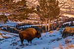 Bison, Yellowstone National Park, Wyoming