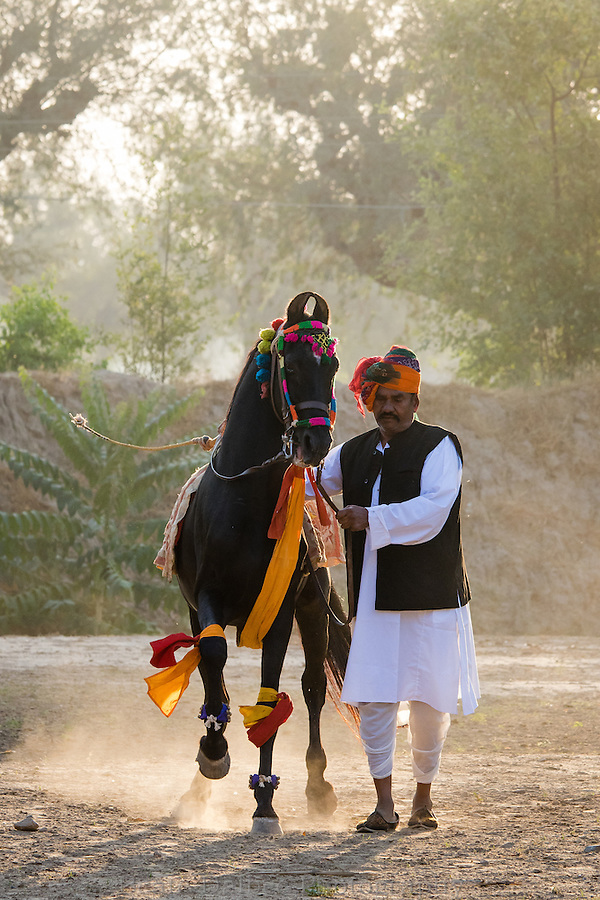 dancing Marwari stallion, Nawalgarh, Rajasthan, India