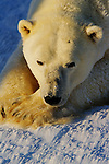 A portrait of polar bear laying in the snow in Wapusk National Park, Manitoba, Canada.