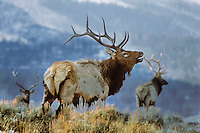 Rocky Mountain Elk bulls (Cervus elaphus).  Western U.S., Fall.   Note: This is a compulation of ME1123 and ME1124.