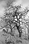 A grove of California black oak, Redwoods National Park