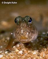 ME05-005b  Mudskipper on mud - Periophthalmus sp.