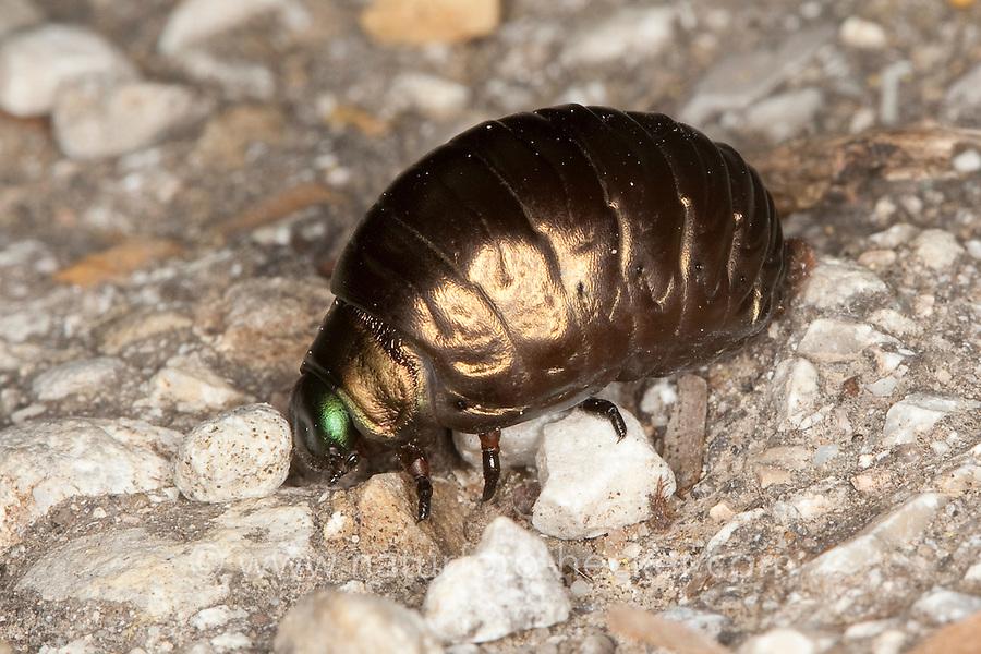 Tatzenkäfer, Tatzen-Käfer, Larve eines Blattkäfer, Timarcha spec., Blattkäfer-Larve, Käferlarve, Käfer-Larve, Chrysomelinae, Chrysomelidae, leaf beetle