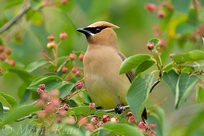 Cedar Waxwing (Bombycilla cedrorum) attracted to feed on Shadblow Serviceberry (Amelanchier canadensis) fruits in summer, New York, USA