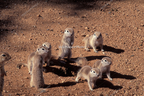 Round-tailed Ground Squirrel babies exploring outside; Sonoran Desert, Arizona