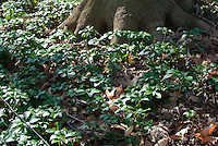 Groundcover for shade Pachysandra terminalis under large tree