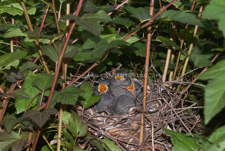Catbird bird nest in Physocarpus, babies, three hungry baby birds, Gray catbird Dumetella carolinensis, wide open beaks mouths in anticipation of food to come