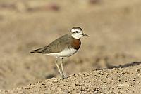 Caspian Plover - Charadrius asiaticus