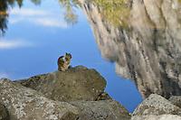 California Ground Squirrel (Otospermophilus beecheyi), Yosemite National Park, California, USA