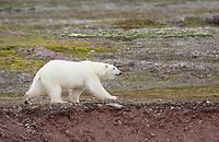 Polar bear on the summer tundra in Svalbard, Norway.