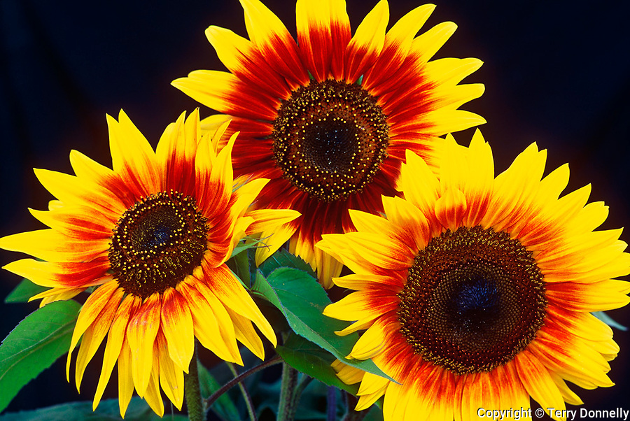 Three cultivated sunflowers